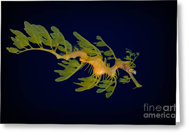 Sea Horse Greeting Cards - Leafy SeaDragon Greeting Card by Photos By  Cassandra