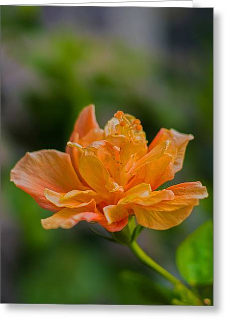 Hibiscus Greeting Cards - Leaning Hibiscus Greeting Card by Diane Bell