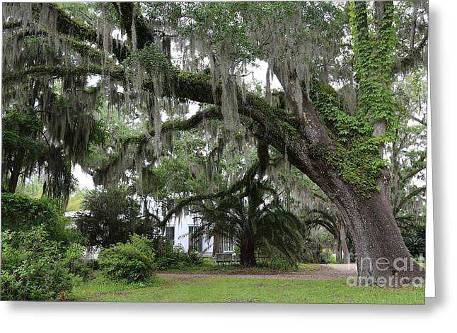 Goodwood Greeting Cards - Leaning Live Oak Greeting Card by Carol Groenen