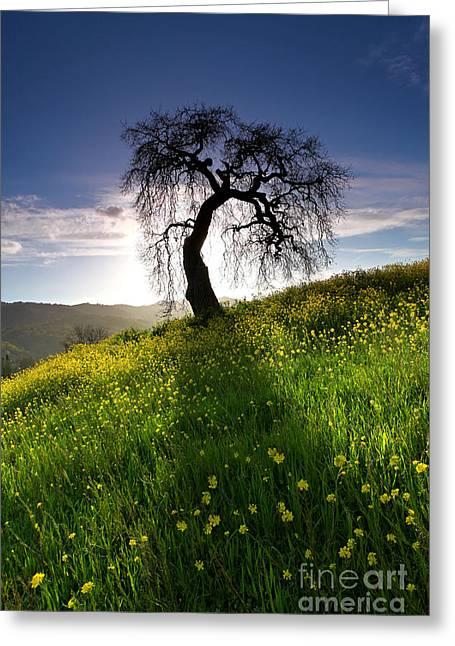Walnut Tree Photograph Greeting Cards - Leaning oak in mustard field Walnut Creek California 2013 Greeting Card by Benjamin Race - Arc of Light Photography
