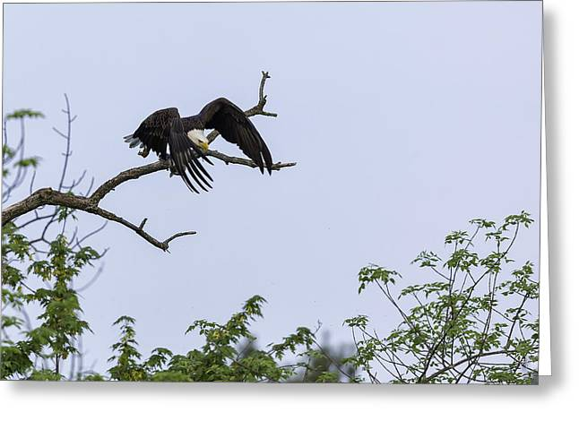 Eaglet Greeting Cards - Leap of Faith Greeting Card by Everet Regal