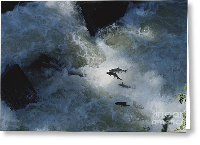 Salmonid Greeting Cards - Leaping Pink Salmon Greeting Card by Joe Munroe