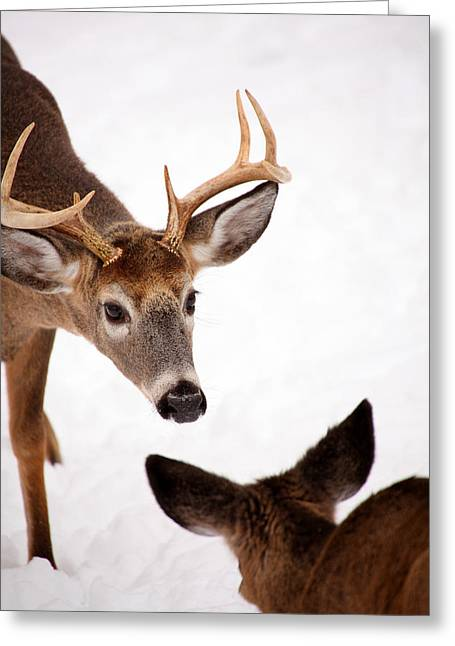 Deer In Snow Greeting Cards - Learning A Lesson Greeting Card by Karol  Livote