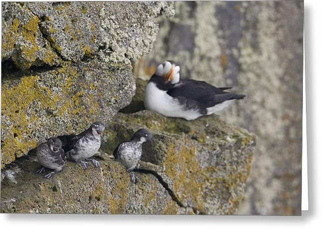 Least Auklets Perched On A Narrow Ledge Greeting Card by Milo Burcham