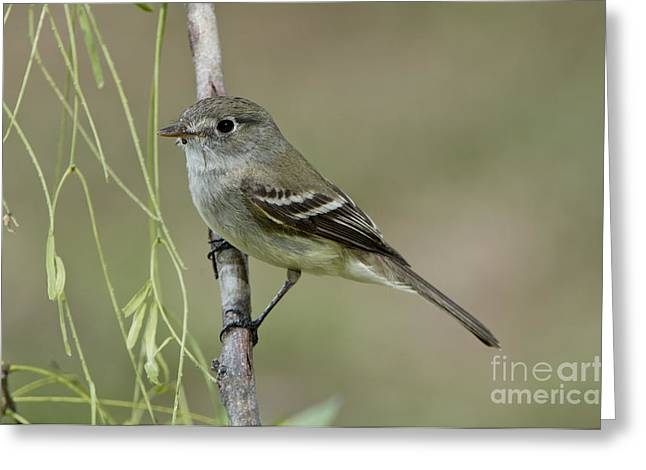 Least Flycatcher Greeting Card by Anthony Mercieca