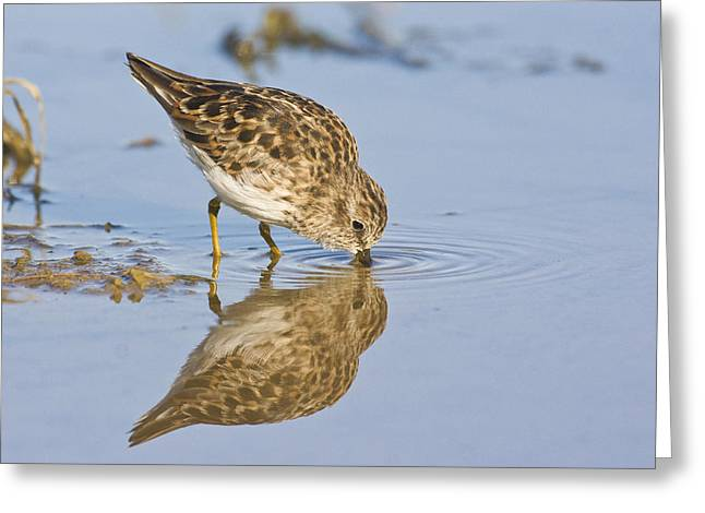 Ruth Jolly Greeting Cards - Least Sandpiper Greeting Card by Ruth Jolly