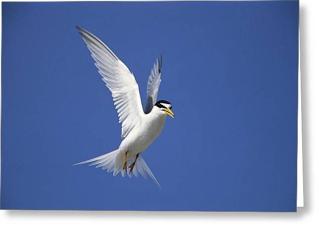 Least Tern Flying Long Island Greeting Card by Tom Vezo