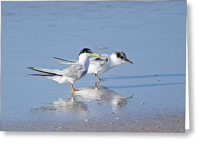 Atlantic Beaches Greeting Cards - Least Tern Mom and Chick Greeting Card by Kenneth Albin