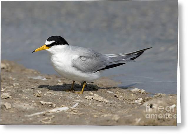 Tern Greeting Cards - Least Tern Sterna Antillarum Greeting Card by Anthony Mercieca