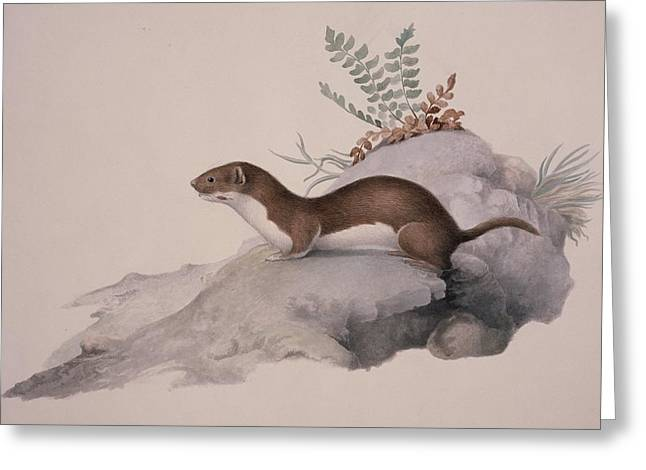 Zoology Greeting Cards - Least weasel, 19th century Greeting Card by Science Photo Library
