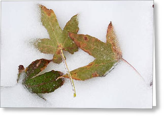 Fallen Leaf Greeting Cards - Leaves In The Snow Greeting Card by Panoramic Images