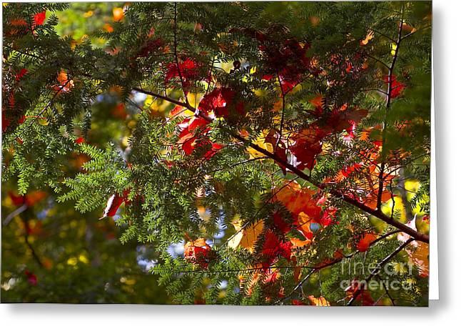 Ralser Greeting Cards - Leaves on evergreen Greeting Card by Steven Ralser