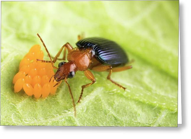 Lebia Grandis Beetle Eating Eggs Greeting Card by Peggy Greb/us Department Of Agriculture
