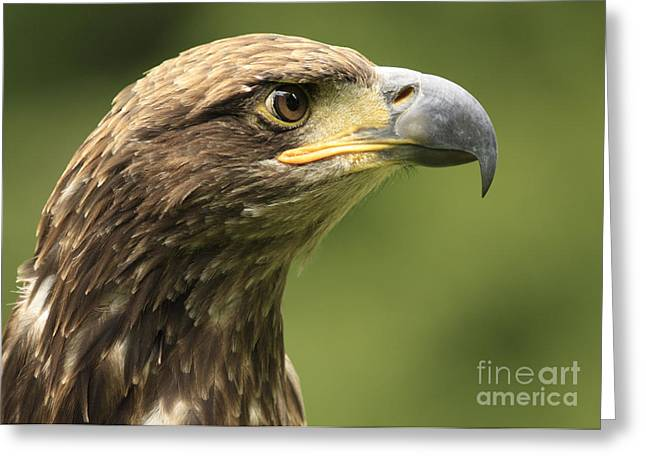 Juvenile Wall Decor Greeting Cards - Legendary Juvenile Bald Eagle  Greeting Card by Inspired Nature Photography By Shelley Myke
