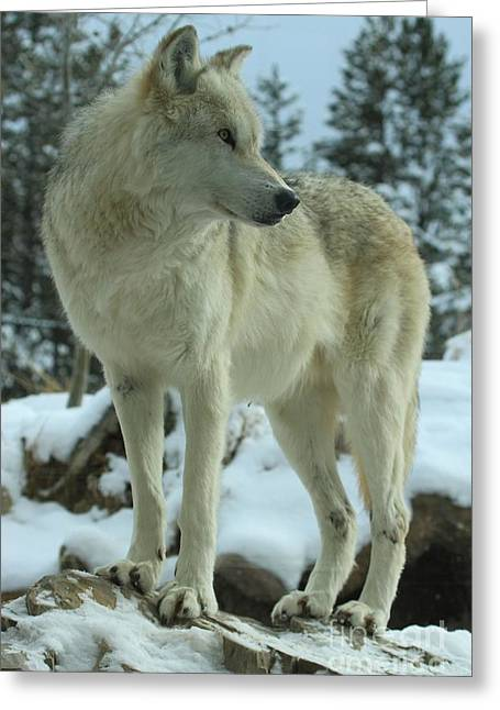 West Yellowstone Greeting Cards - Legendary Predator Greeting Card by Adam Jewell