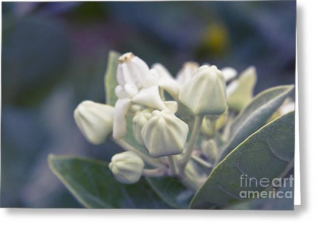 Pointed Petals Greeting Cards - Lei Pua Kalaunu - Crown flower - Calotropis gigantea - Asclepiad Greeting Card by Sharon Mau