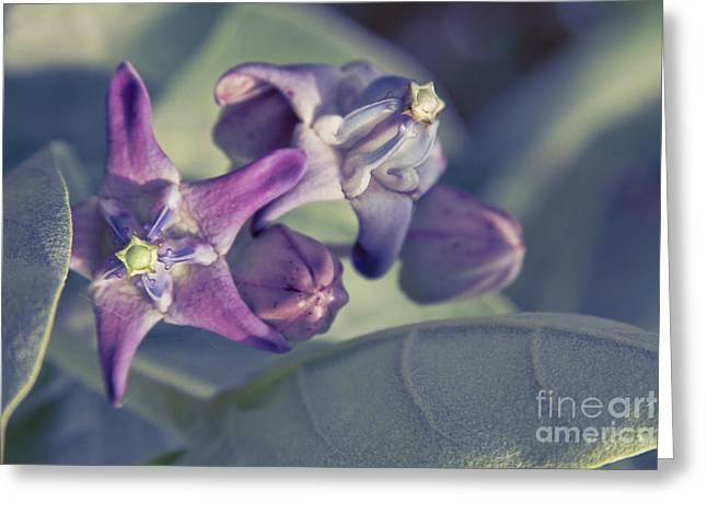 Pointed Petals Greeting Cards - Lei Pua Kalaunu - Crown flower - Calotropis gigantea Greeting Card by Sharon Mau
