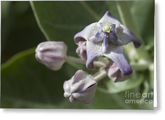 Pointed Petals Greeting Cards - Lei Pua Kalaunu - Crown flower - Calotropis gigantea - Asclepiadaceae Greeting Card by Sharon Mau