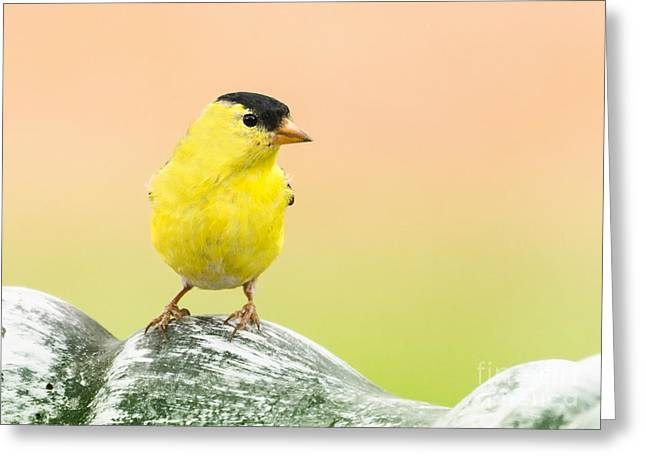 Goldfinch Digital Art Greeting Cards - Lemon Yellow Greeting Card by Betty LaRue