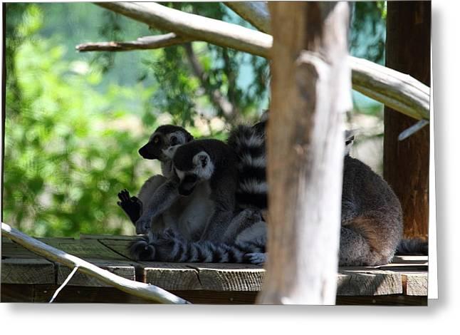 Lemur Greeting Cards - Lemur - National Zoo - 01133 Greeting Card by DC Photographer