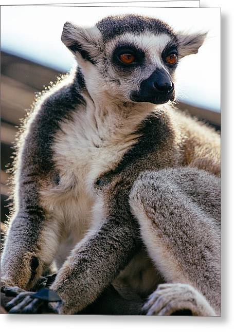 Lemur On The Roof Greeting Card by Pati Photography