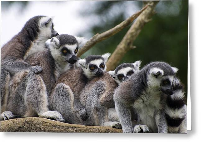 Animal Pics Greeting Cards - Lemurs Close Up Greeting Card by Chris Flees