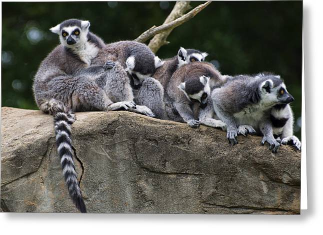 Animal Pics Greeting Cards - Lemurs On A Rock Greeting Card by Chris Flees