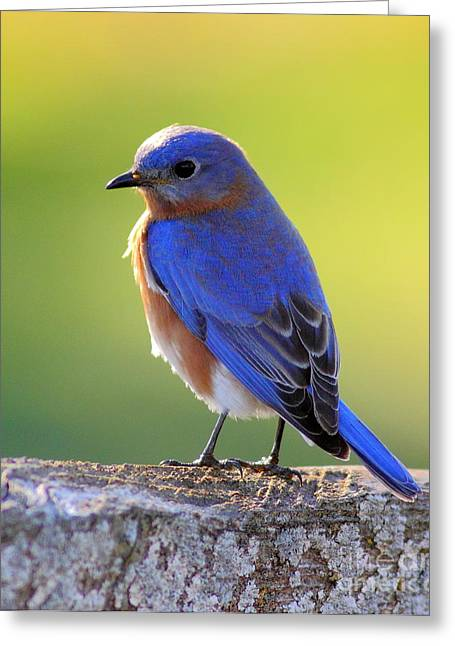 Frederick Greeting Cards - Lenores Bluebird Greeting Card by Robert Frederick