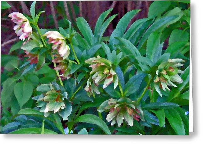 March Greeting Cards - Lenten Roses Greeting Card by Jean Hall