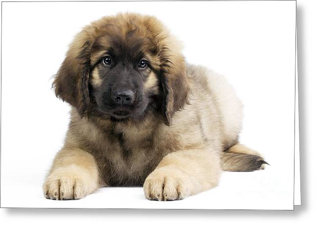 Leonberger Greeting Cards - Leonberger Puppy Greeting Card by Jean-Michel Labat