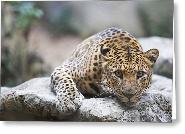 Wildcats Greeting Cards - Leopard  Greeting Card by Anek Suwannaphoom