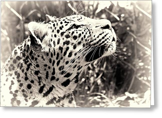 Leopard Photographs Greeting Cards - Leopard Dreams Greeting Card by Dan Sproul