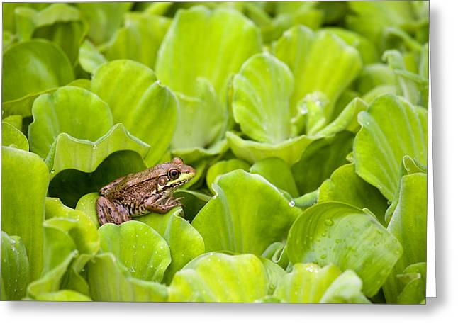Lettuce Greeting Cards - Leopard Frog Perching On Water Lettuce Greeting Card by Mary Ellen McQuay