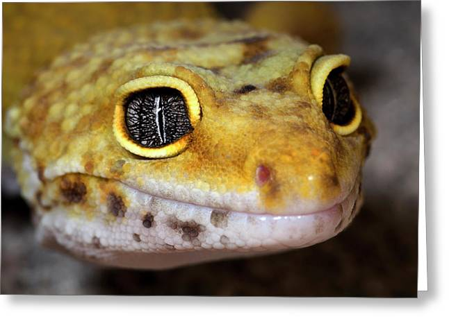 Leopard Gecko Close-up Full Face Greeting Card by Nigel Downer