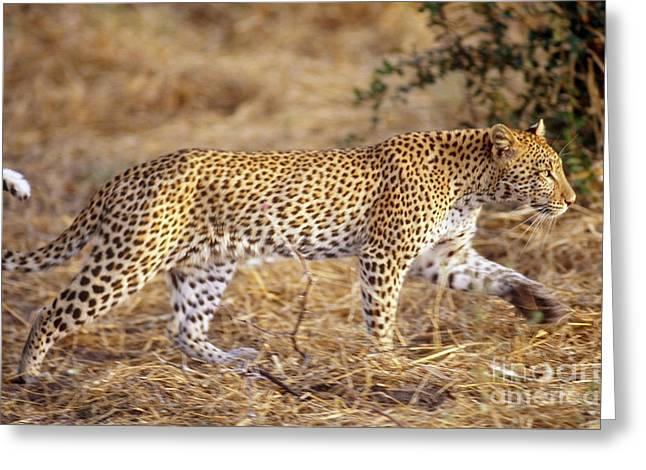 Leopard Running Greeting Cards - Leopard Greeting Card by Gregory G. Dimijian, M.D.