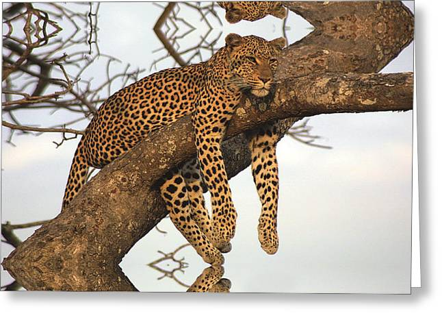Sorrow Reliefs Greeting Cards - Leopard Having A Tranquil Life. Greeting Card by Raphael  Sanzio