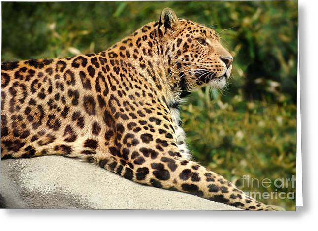 Leopard Face Greeting Cards - Leopard Greeting Card by HD Connelly