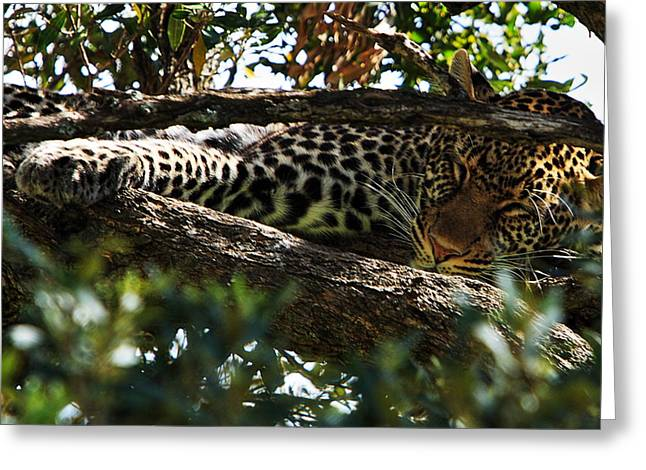 Recently Sold -  - Reserve Greeting Cards - Leopard In A Tree Greeting Card by Aidan Moran