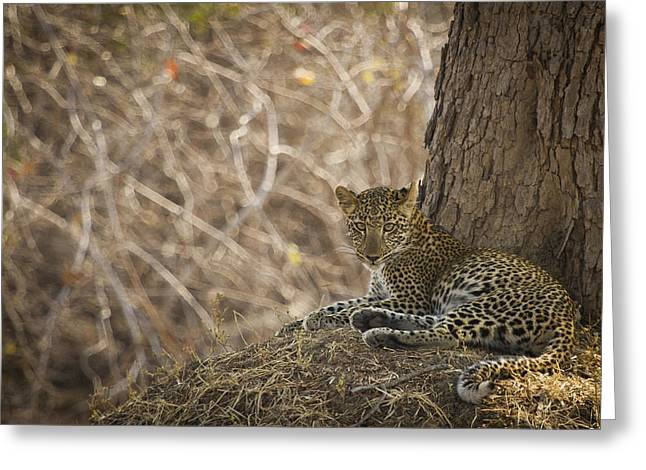 Leopard In Its Environment Greeting Card by Alison Buttigieg