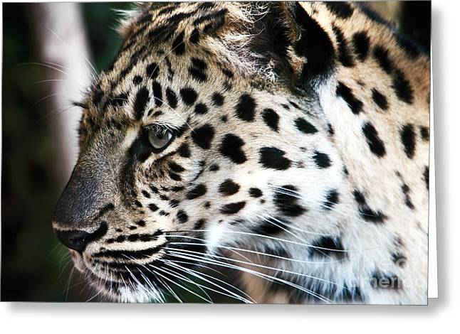 Leopard Greeting Card by John Rizzuto