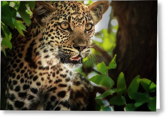 Leopard Juvenile Portrait In Tree Greeting Card by Sheila Haddad