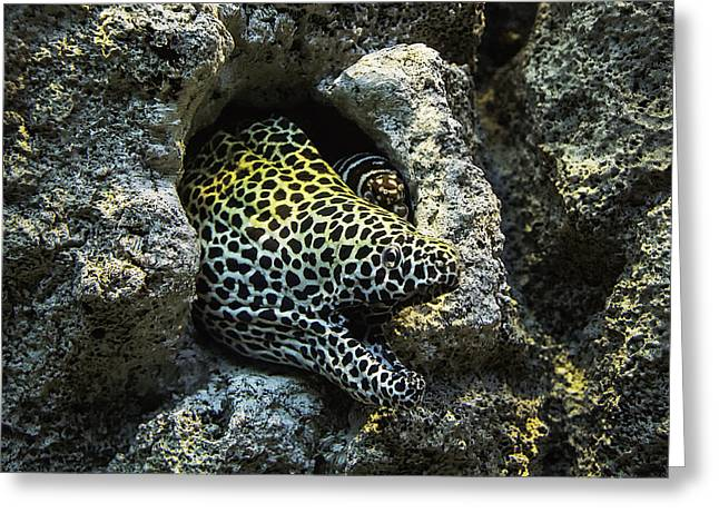 Hiding Greeting Cards - Leopard Moray Eel  Greeting Card by Garry Gay