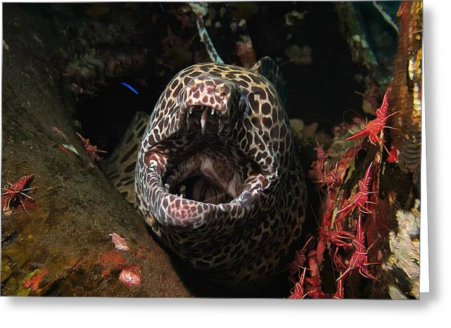 Underwater Photos Greeting Cards - Leopard moray Greeting Card by Sergey Lukashin