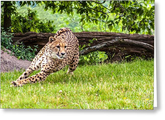 Leopard Running Greeting Cards - Leopard on the Run Greeting Card by Terri Morris