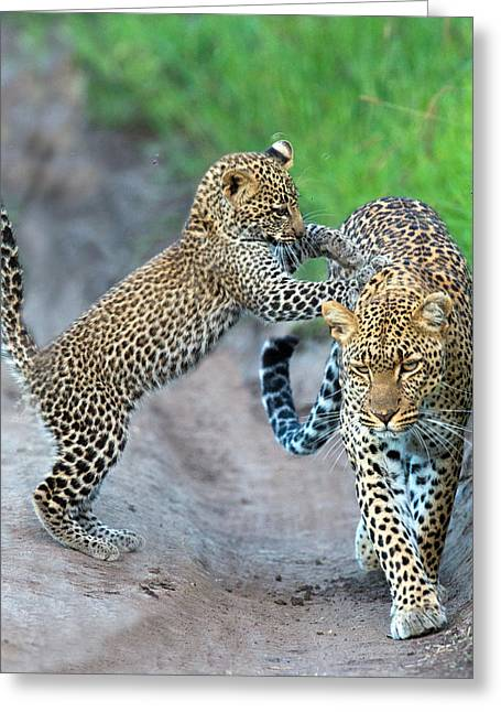 Animal Family Greeting Cards - Leopard Panthera Pardus Family Greeting Card by Panoramic Images