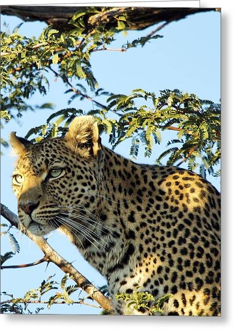 Gift Ideas For Him Greeting Cards - Leopard Photography Greeting Card by Gigi Ebert