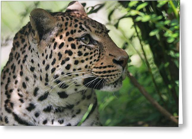 Leopard Photographs Greeting Cards - Leopard Portrait Greeting Card by Dan Sproul