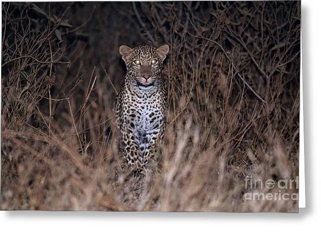 Glowing Eyes Greeting Cards - Leopard Prowling At Night Greeting Card by Gregory G. Dimijian, M.D.