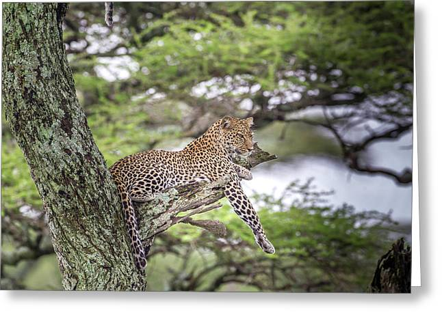 Leopard Reclining On Tree Branch Stump Greeting Card by James Heupel
