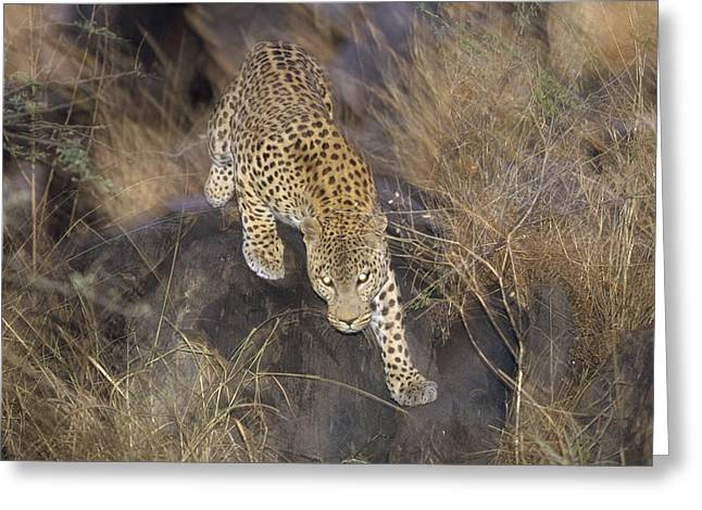 Leopard Running Greeting Cards - Leopard Running At Dusk Etosha Np Greeting Card by Konrad Wothe